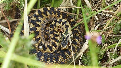夢占い:とぐろを巻いた蛇(へび・ヘビ)の意味と解釈