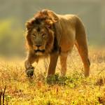 夢占いでライオンの意味/解釈は!?能力・精力・体力の高まりを表します。