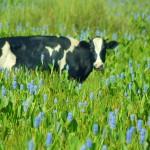 夢占い 牛