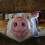 夢占いで豚の意味/解釈は?!怠惰・いらだち・豊かさを意味します。