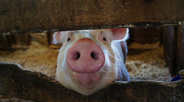 夢占い 豚