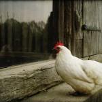 夢占いでニワトリの意味/解釈は?!金の鶏は幸運の象徴です!!