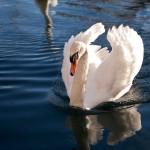 夢占いで白鳥は清らかさ、勝利、華麗さをあらわします。