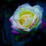 夢占い バラ