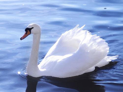 深層心理:白鳥