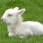 深層心理:羊