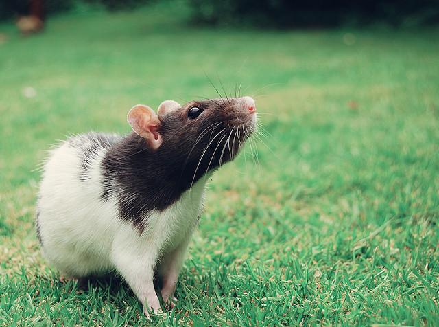 夢占いでねずみ・ネズミの意味/解釈は?今の生活を脅かす警告を表します。