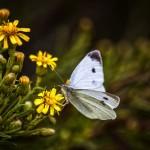 夢占い 蝶
