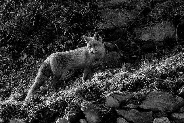 夢占い 狐