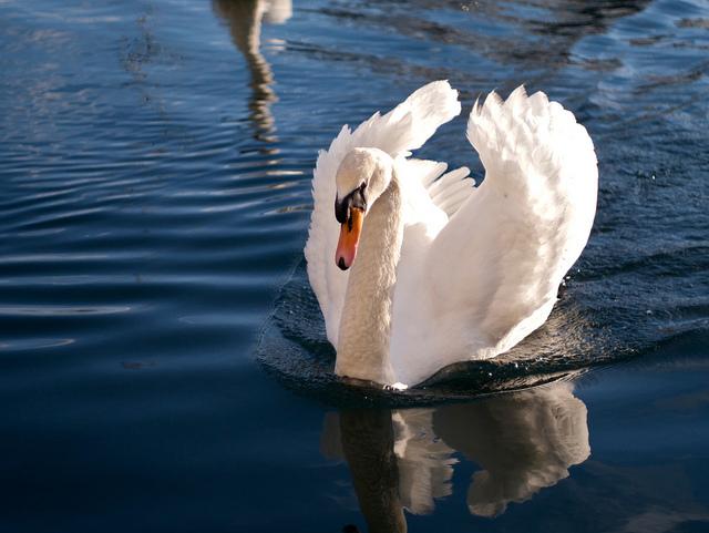 夢占いで白鳥の意味/解釈は?清らかさ、勝利、華麗さをあらわします。