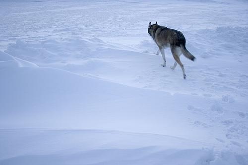 夢占いでオオカミの意味/解釈は?!危険が迫っている事を意味します。