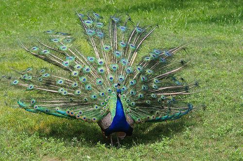 夢占いで孔雀の意味/解釈は?!幸運や利徳を象徴する吉兆です。
