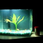 夢占い 金魚 goldfish