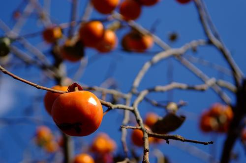 夢占いで柿の意味とは?!意外な事や思いがけない結果を表わします。