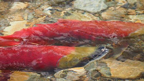 夢占いで鮭の意味とは?!強い精神力・意志の強さを表わしています。