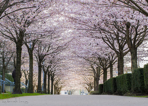 夢占いで桜はの意味/解釈は?!別れ・人生の節目をあらわします。