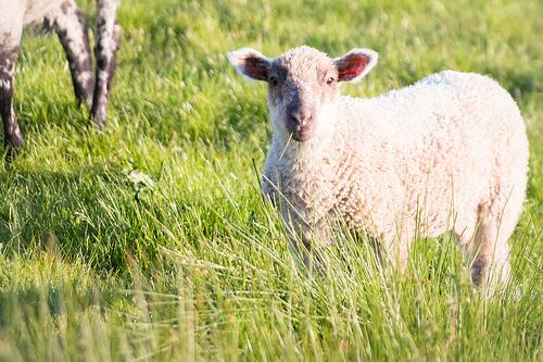 夢占いで羊の意味/解釈は?!善良な心の表れです。