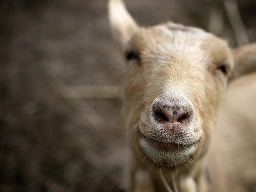 夢占いでヤギ(やぎ)の意味/解釈は?!温厚さや受容、金運を暗示しています。