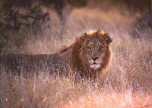 深層心理:ライオン2
