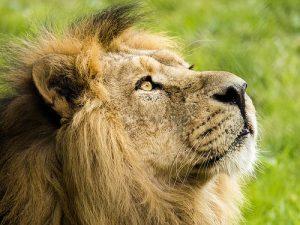 深層心理:ライオン